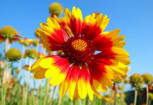 Gailardia - kwiat