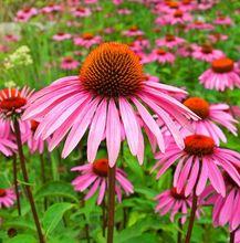 Jeżówka - kwiat