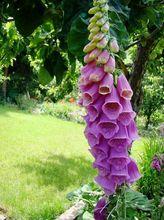 Naparstnica purpurowa