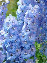 Ostróżki - kwiaty
