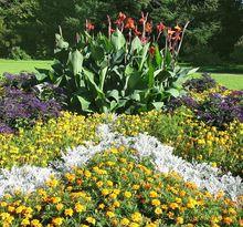 Starzec popielny (Mrozy) w kompozycji kwiatowej