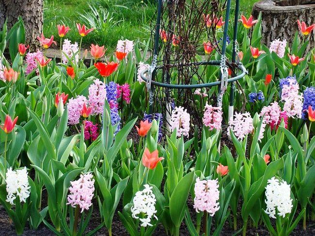 Hiacynty i tulipany