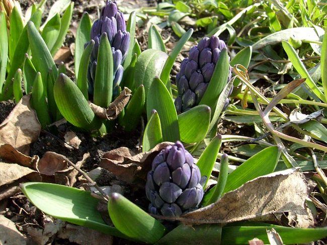 Hiacynty - początek kwitnienia