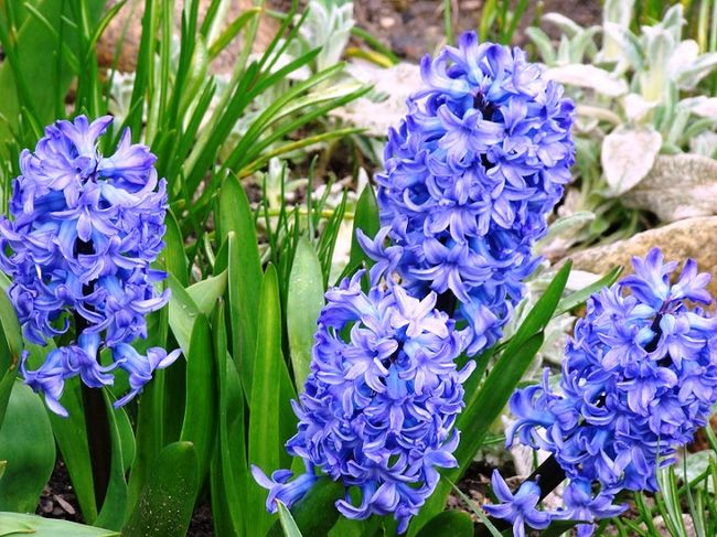 Niebieskie hiacynty