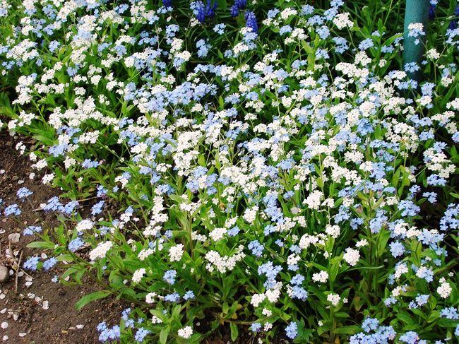 Niezapominajki białe i niebieskie