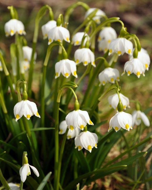 Śnieżyce - kwiaty