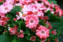 Cyneraria (Starzec popielnik, Starzec Cyneraria)