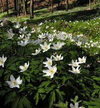 Kwitnące zawilce gajowe