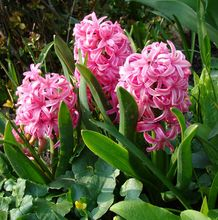 Różowe hiacynty