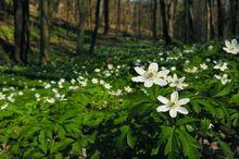 Zawilce gajowe w lesie