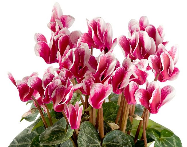 Cyklamen perski - kwiaty