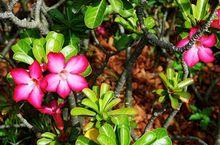 Adenium arabskie, róża pustyni
