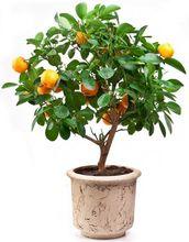 Drzewko cytrusowe