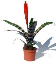 Frizea (Vriesea)