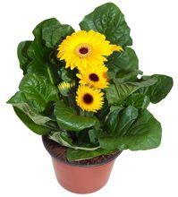 Gerbera doniczkowa z zółtymi kwiatami