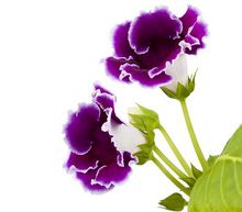 Gloksynia - kwiat