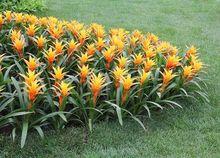 Guzmanie jako rośliny ogrodowe w ciepłym klimacie