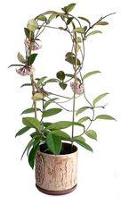 Hoja - kwiat doniczkowy