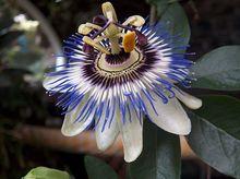 Passiflora (Męczennica)