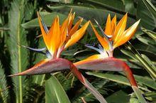 Strelicja królewska - kwiaty