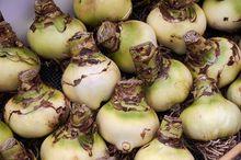 Zwartnica (Hippeastrum) - cebule