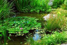 Lilie wodne w oczku wodnym