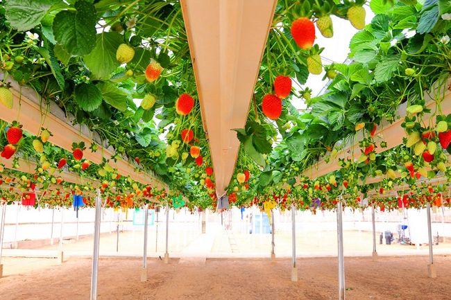 Uprawa hydroponiczna truskawek