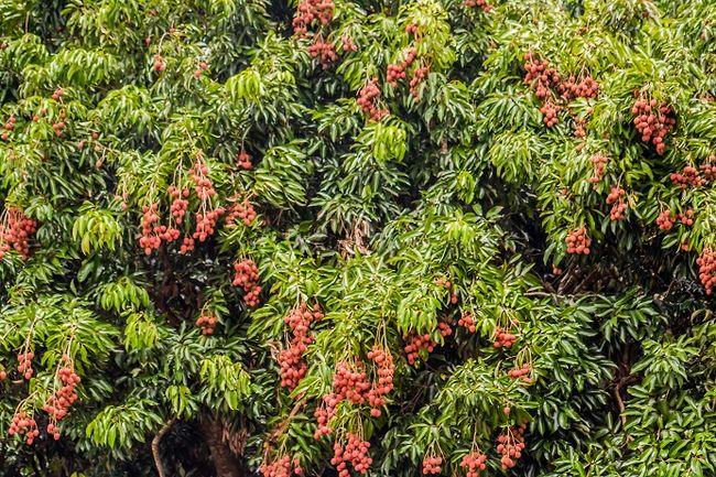 Liczi - drzewo tropikalne