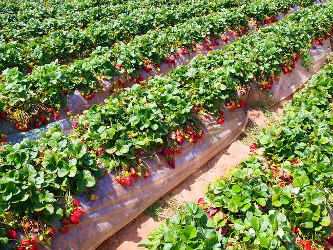cara-meningkatkan-panen-buah-strawberry-organik