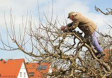 Cięcie starego drzewa jabłoni