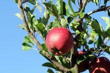 Jabłka odmiany Melrose