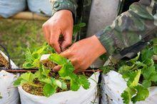 Kropelkowe nawadnianie truskawek