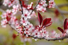 Kwitnąca śliwa wiśniowa