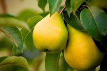 Owoce gruszy