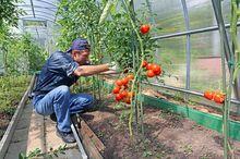 Przycinanie pomidorów
