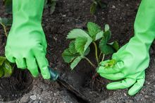 Sadzenie truskawki