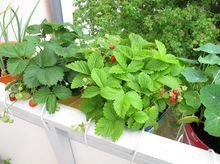 Uprawa poziomek i truskawek na balkonie