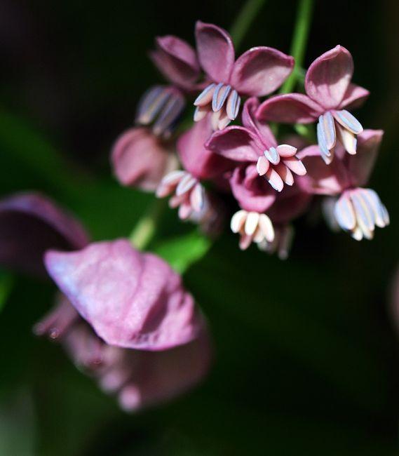 Akebia pięciolistkowa w okresie kwitnienia