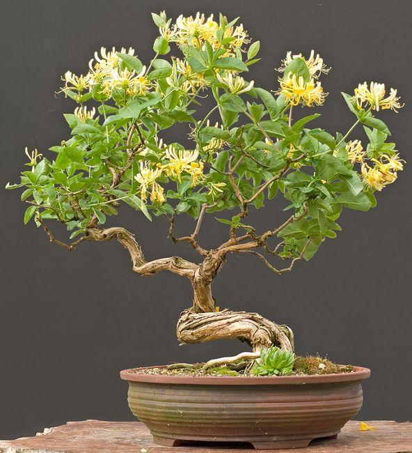 Wiciokrzew japoński - bonsai