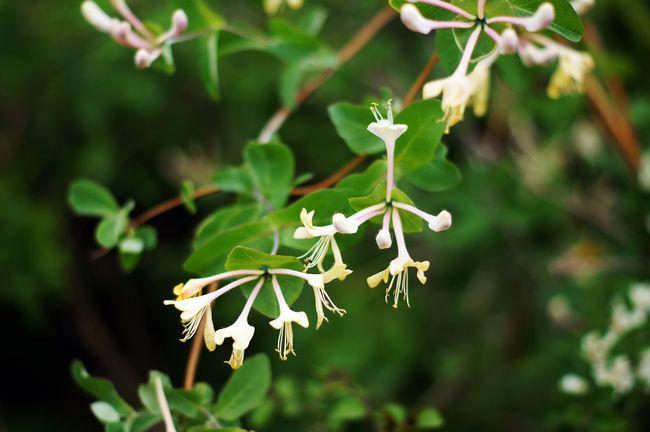 Wiciokrzew przewiercień, kapryfolium