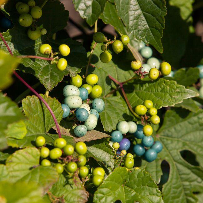 Winnik zmienny - pnącze