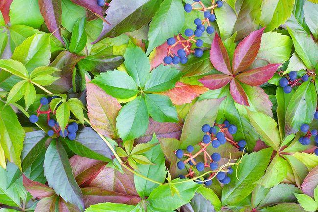 Winobluszcz - liście i owoce