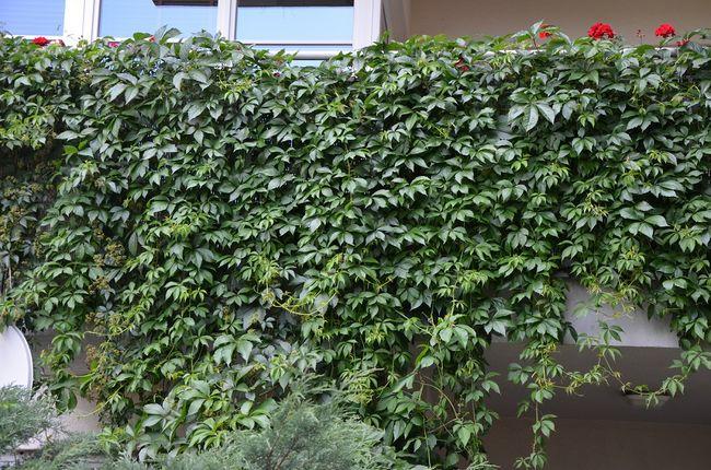 Winobluszcz pięciolistkowy na balkonie