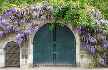 Glicynia - wisteria