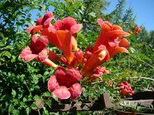 Milin - kwiaty