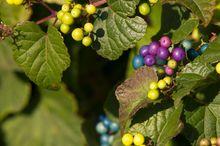 Winnik zmienny - liście i owoce