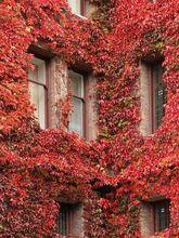 Winobluszcz jesienią