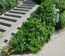 Winobluszcz pięciolistkowy (Parthenocissus quinquefolia),