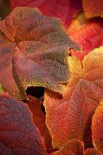 Winorośl japońska - liście jesienią