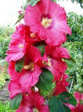 Malwa ogrodowa - kwiaty
